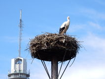 europeisk storkwhite Fotografering för Bildbyråer