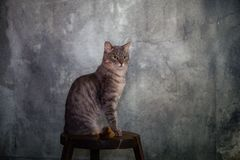 Europeisk strimmig kattmankatt royaltyfria foton