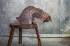 Europeisk strimmig kattmankatt arkivfoto
