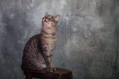 Europeisk strimmig kattmankatt royaltyfria bilder
