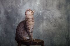 Europeisk strimmig kattmankatt royaltyfri bild