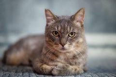 Europeisk strimmig kattmankatt royaltyfri fotografi