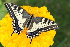 Europeisk swallowtail Royaltyfria Bilder