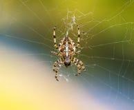 Europeisk trädgårds- spindel eller korsOrb-vävare som äter en fångad fluga royaltyfri fotografi