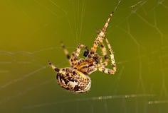 Europeisk trädgårds- spindel eller korsOrb-vävare som äter en fångad fluga arkivbilder