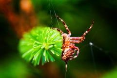Europeisk trädgårds- spindel som kallas arg spindel Araneusdiadematusart Arkivbilder