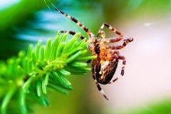 Europeisk trädgårds- spindel som kallas arg spindel Araneusdiadematusart Arkivfoto