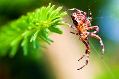 Europeisk trädgårds- spindel som kallas arg spindel Araneusdiadematusart Royaltyfri Bild