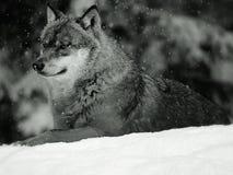 europeisk vinterwolf arkivbilder