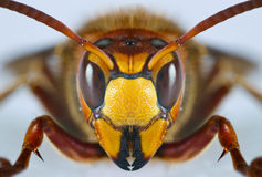 Europeisk wasp Royaltyfri Bild