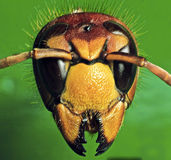 Europeisk wasp Fotografering för Bildbyråer