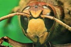Europeisk wasp Arkivbilder