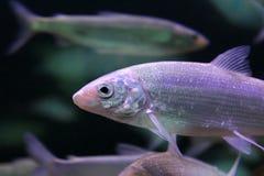 Europeisk whitefishCoregonuslavaretus fotografering för bildbyråer