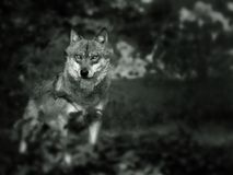 europeisk wolf Arkivbilder
