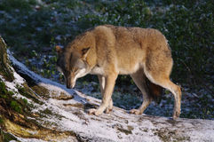 europeisk wolf Royaltyfri Bild