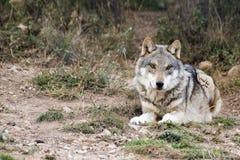 europeisk wolf Royaltyfri Fotografi