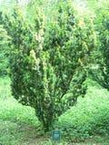 europeisk yew Royaltyfria Foton