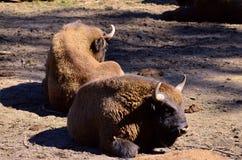 Europeiska bisonar Royaltyfri Bild