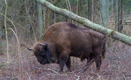 Europeiska bisontjurar som walging bland lövfällande träd Royaltyfri Fotografi