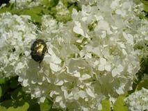 Europeiska cranberrybush'Roseum' vita blommor med den gröna chaferen skjuter ut Royaltyfria Bilder