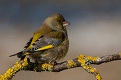 Europeiska Greenfinch Fotografering för Bildbyråer