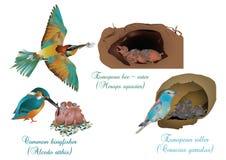 Europeiska härliga fåglar med deras avkommor royaltyfria foton