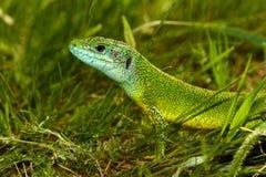 Europeiska Lacertaviridis för grön ödla arkivbild