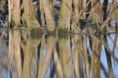 Europeiska mangrovar Arkivbild