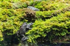 Europeiska paddor som parar ihop på våt mossa Royaltyfri Fotografi