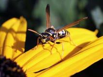 Europeiska pappers- Wasp på Svart-synade Susan Royaltyfria Foton