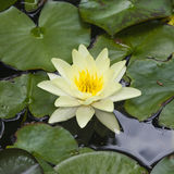 Europeiska vita Waterlily, rosa vatten eller Nenuphar, Nymphaeaalbum, blommamakro, selektiv fokus Royaltyfri Fotografi