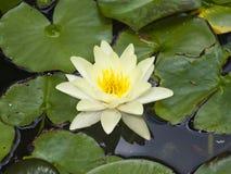 Europeiska vita Waterlily, rosa vatten eller Nenuphar, Nymphaeaalbum, blommamakro, selektiv fokus Arkivfoton