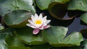 Europeiska vita Waterlily, rosa vatten eller Nenuphar, Nymphaeaalbum, blommanärbild, selektiv fokus, grund DOF Arkivbilder