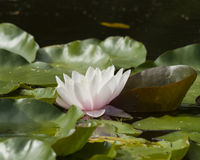 Europeiska vita Waterlily, rosa vatten eller Nenuphar, Nymphaeaalbum, blommanärbild, selektiv fokus, grund DOF Royaltyfri Bild