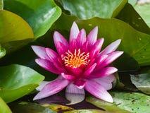Europeiska vita Waterlily, rosa vatten eller Nenuphar, Nymphaeaalbum, rosa färger blommar närbilden, den selektiva fokusen, grund Arkivbilder