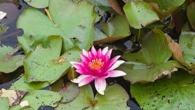 Europeiska vita Waterlily, rosa vatten eller Nenuphar, Nymphaeaalbum, rosa färger blommar närbilden, den selektiva fokusen, grund Arkivfoton