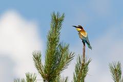 Europeiskt Bi-ätaren fågelsammanträde sörjer på trädet fotografering för bildbyråer