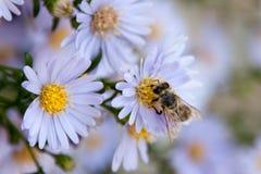 Europeiskt bi på blommor royaltyfria bilder