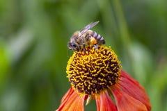 Europeiskt bi på en färgrik blomma arkivfoto