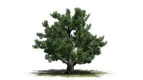 Europeiskt bokträdträd vektor illustrationer