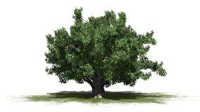 Europeiskt bokträdträd stock illustrationer