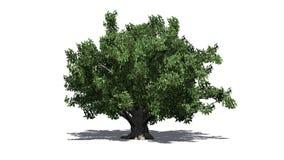 Europeiskt bokträdträd royaltyfri illustrationer
