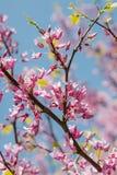 Europeiskt cercisträd som blommar i vår arkivfoto