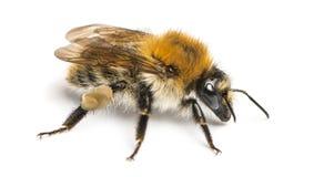 Europeiskt honungbi, Apismellifera som isoleras royaltyfri bild