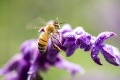 Europeiskt honungbi royaltyfri fotografi