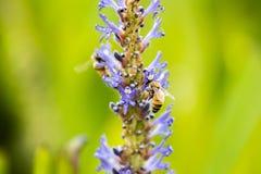 Europeiskt honungbi fotografering för bildbyråer