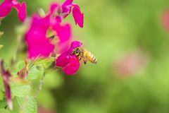 Europeiskt honungbi arkivfoton