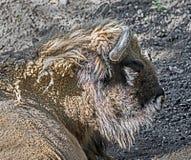 Europeiskt huvud 1 för bison` s Arkivbild