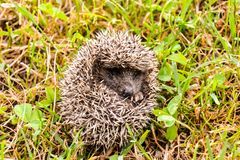 Europeiskt igelkottdäggdjurdjur royaltyfri foto