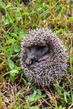 Europeiskt igelkottdäggdjurdjur fotografering för bildbyråer